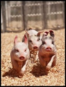 Pigs - Running
